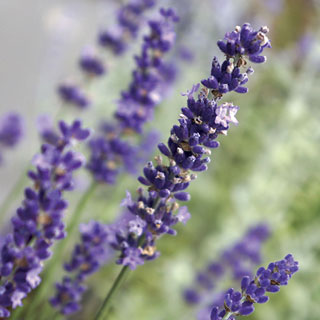 Lavandula 'Big Time Blue'