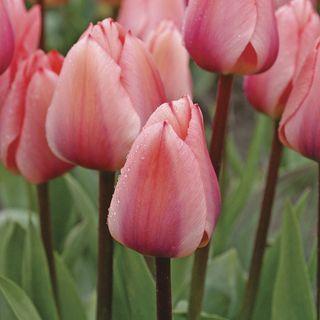 Tulip 'Totorri'