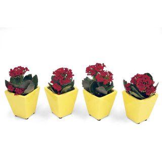Red Kalanchoe Miniature Houseplant Set