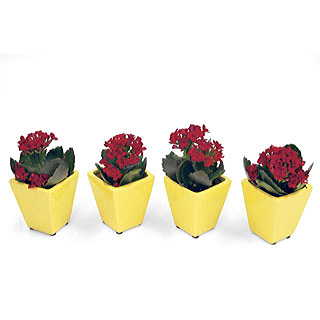 Red Kalanchoe Miniature Houseplant Set Image