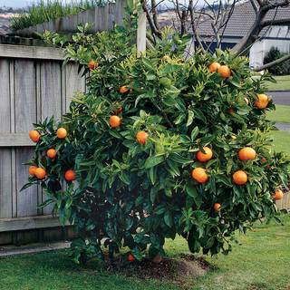 Citrus 'Washington' Navel Orange