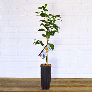 Trovita Orange Tree Image