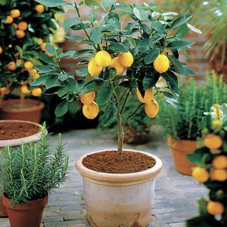 Citrus 'Meyer' Lemon