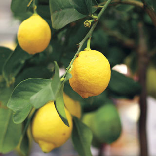 Citrus 'Eureka' Lemon