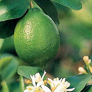 Citrus 'Bearss' Lime Image