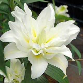 Oriental Lily Roselily® Carolina®
