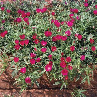 Callirhoe Purple Poppy Mallow