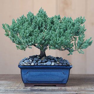 Blissful Bonsai Tree Image