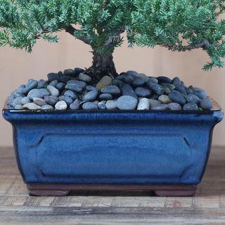 Blissful Bonsai Tree Image