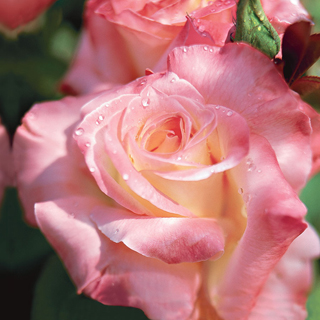'Elegant Lady' Hybrid Tea Rose