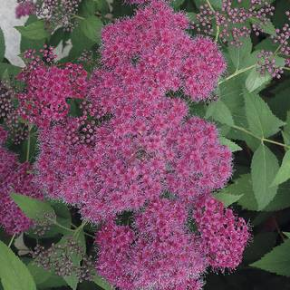Double Play® Red Spirea