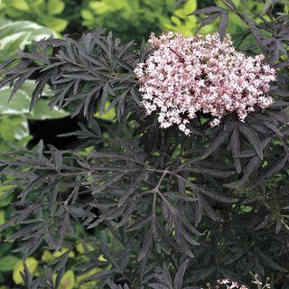 Sambucus Black Lace®