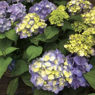 Endless Summer® BloomStruck® Hydrangea