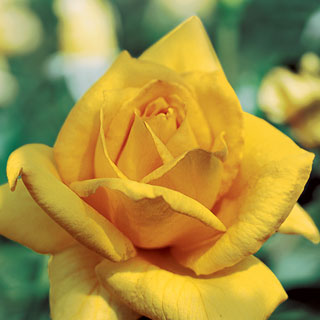 'Oregold' Hybrid Tea Rose