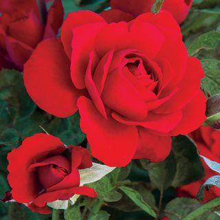 Obsession® Floribunda Rose Image