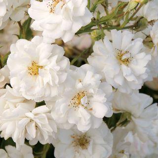 Wedding Dress® 36-inch Tree Rose