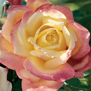 Bella'roma 36-Inch Tree Rose Image