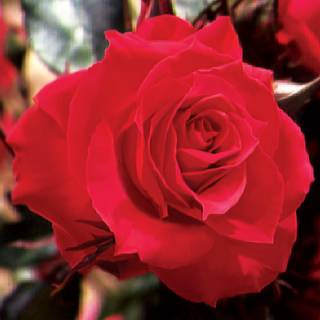 Double Red Simplicity Hedge Rose Image