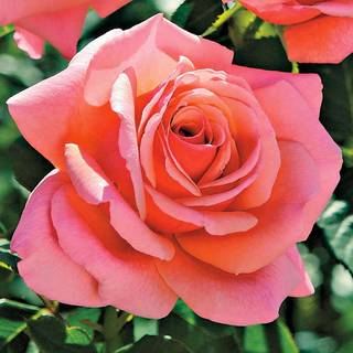 Catalina 36-Inch Tree Rose Image