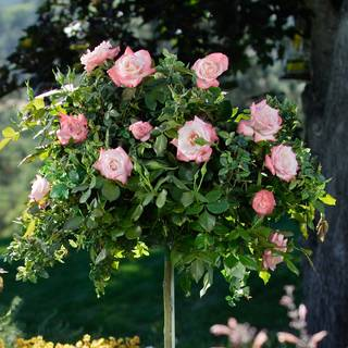 Gemini™ 36-Inch Tree Rose Image