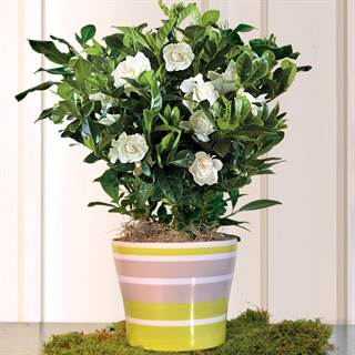 Sultry Summer Gardenia 6-inch Image