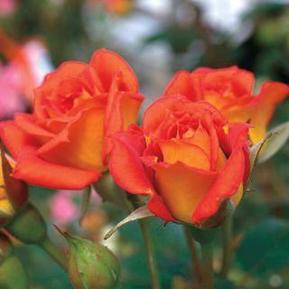 Boogie Woogie™ Miniature Rose