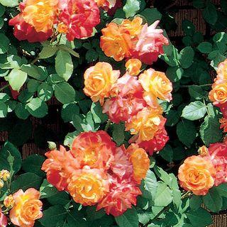 'Pinata' Climbing Rose