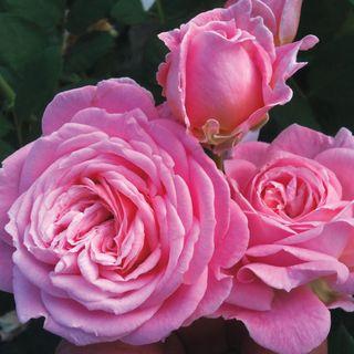 Summer Romance™ Parfuma® Floribunda Rose Image