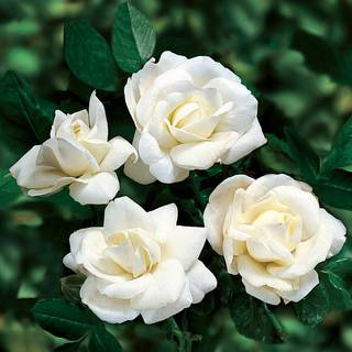 'White Dawn' Climbing Rose
