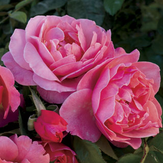 Spice It Up™ Floribunda Rose