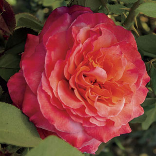 Surreal™ Floribunda Rose Image