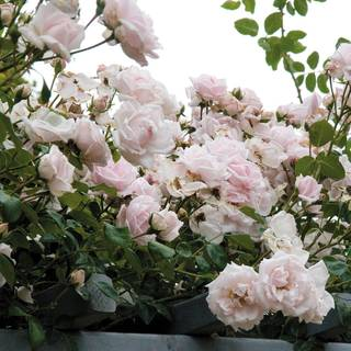 New Dawn Climbing Rose Image