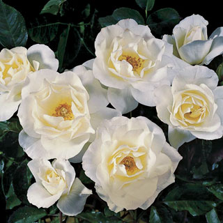 White Simplicity® Hedge Rose Image