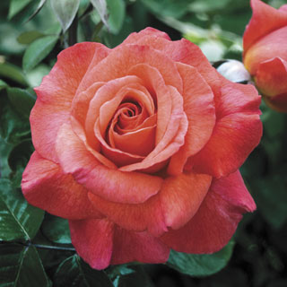 Sedona™ Hybrid Tea Rose