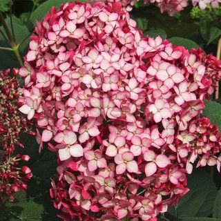 Hydrangea Invincibelle® Ruby Image