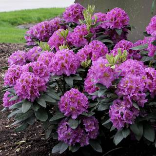 Purple Dandy Man Rhododendron