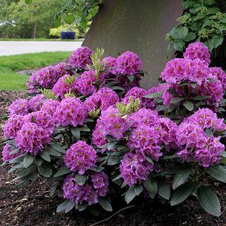Rhododendron Dandy Man™ 'Purple'