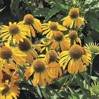 Echinacea Butterfly™ 'Golden Skipper'