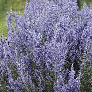 'Denim 'n Lace' Russian Sage
