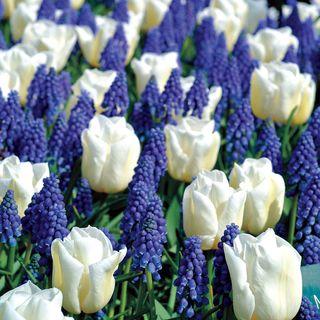 Tulip Muscari Mix