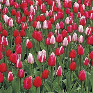 Tulip Perennial Delight Mix Image