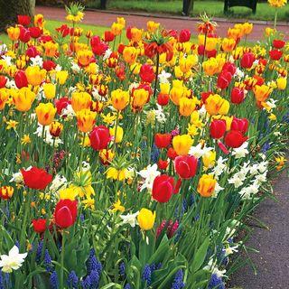 Tulip Sunbeam Mix