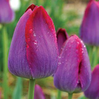 Tulip Pittsburgh Triumph Image