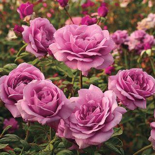 Sugar Plum Hybrid Tea Rose Image