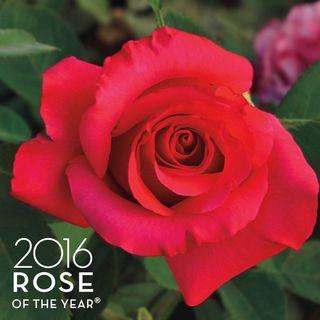 April Moon® Hybrid Tea Rose Image