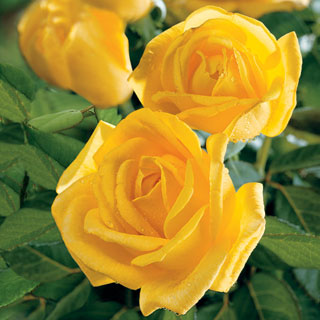 Radiant Perfume 36-inch Tree Rose