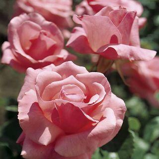 'Queen Elizabeth' Grandiflora Rose