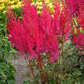 Astilbe Mighty® 'Chocolate Cherry' Image