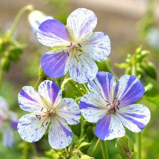 Geranium 'Delft Blue'
