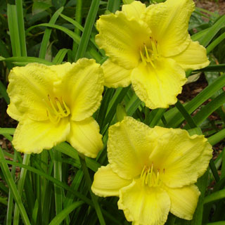 Hemerocallis 'Big Time Happy' Image